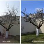 Jabłoń przed i po przejściu Joan