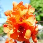 Zaś na kolczastej gałązce dumny kwiat pigwowca, z którego potem będą żółte, twarde owoce o cytrynowym smaku