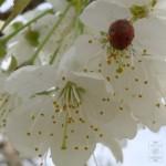 Pierwsze pojawiają się delikatne kwiaty czereśni..