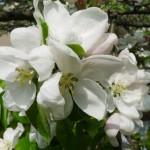 ...które potem rozwijają się w duże, pięknie i mocno pachnące kwiaty, tracąc swój różowy odcień