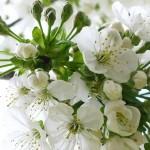 Zaraz za nimi rozkwitają wiśnie, o trochę bielszych, gęstszych i mocniejszych od czereśniowych kwiatkach