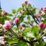 Na koniec ruszają jabłonie, gdy czereśnie i śliwy już opadają. Poznacie je po solidnych pączkach z domieszką różu..