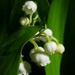 ...ukryte wśród liści, do wypatrzenia tylko w maju.