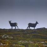 Pierwsze europejskie fotografie endemicznych baranów śnieżnych. Jeden ich nawet... olał ;).