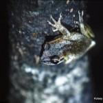 Nowo odkryty gatunek endemicznej ropuchy